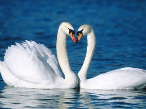 Swans Making Heart