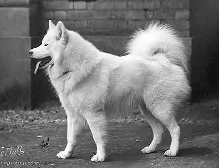 1926_Samoyed_CHPolarLight