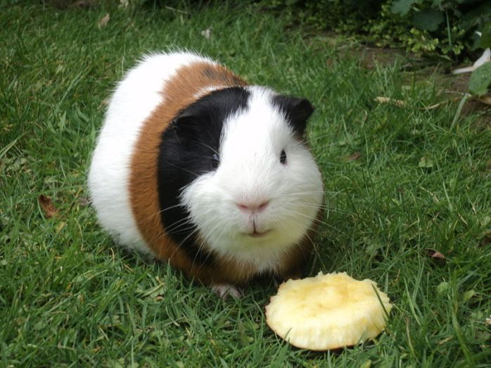 800px-Guinea_Pig_eating_apple